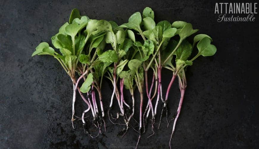 radish microgreens with tiny roots on black