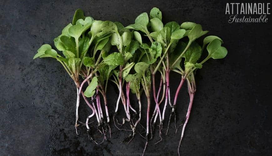 radish microgreens with tiny roots on black