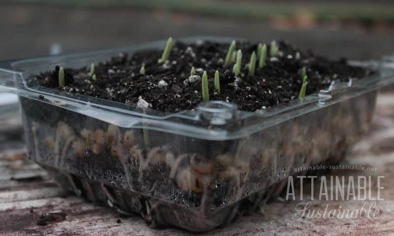 corn sprouts emerging from soil in a plastic tray