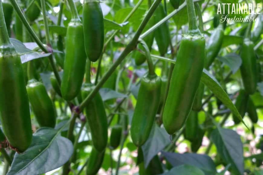 green jalapeno hot peppers on a plant