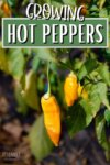 yellow hot peppers on a plant