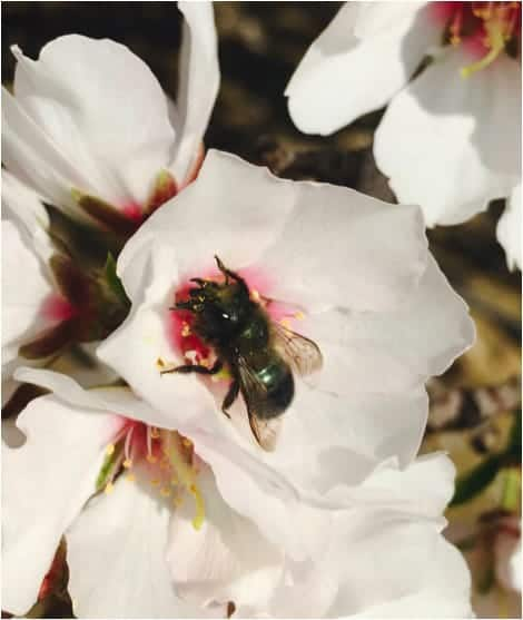 bee in white blossom