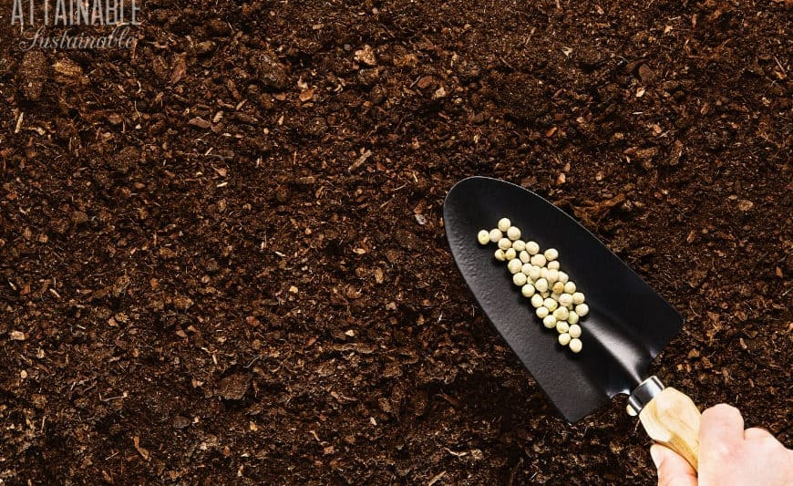 good garden soil with a trowel full of pea seeds