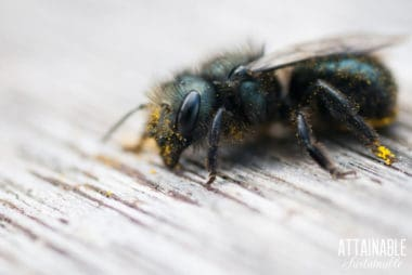 mason bee covered in pollen