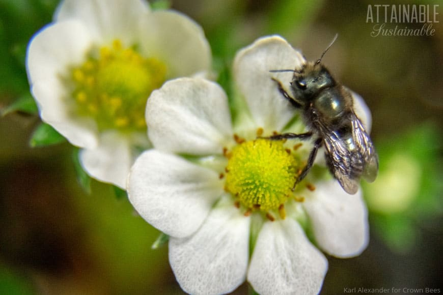 mason bee on a strawberry blossom
