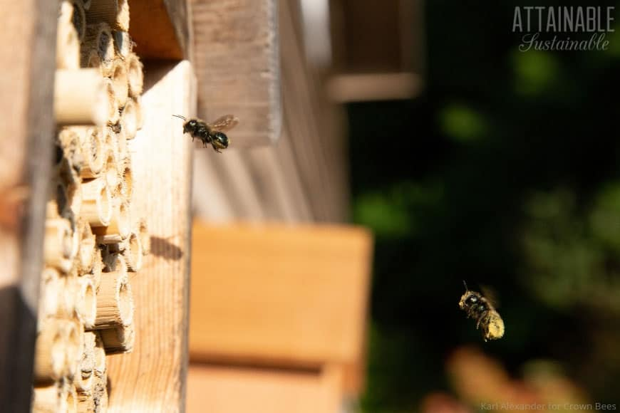mason bees flying into a collection of bamboo tubes