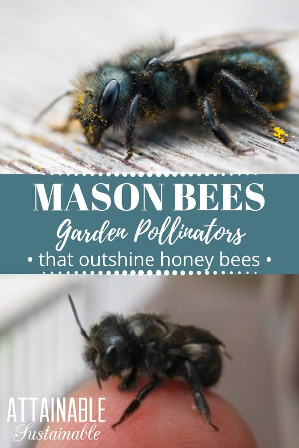 mason bees, one covered in pollen, another on a human finger