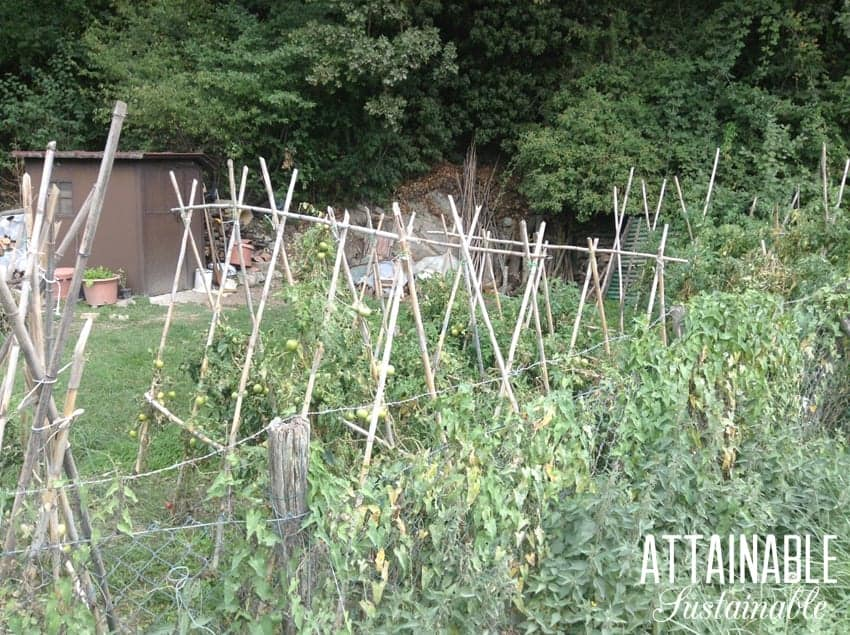 bamboo trellis with tomatoes