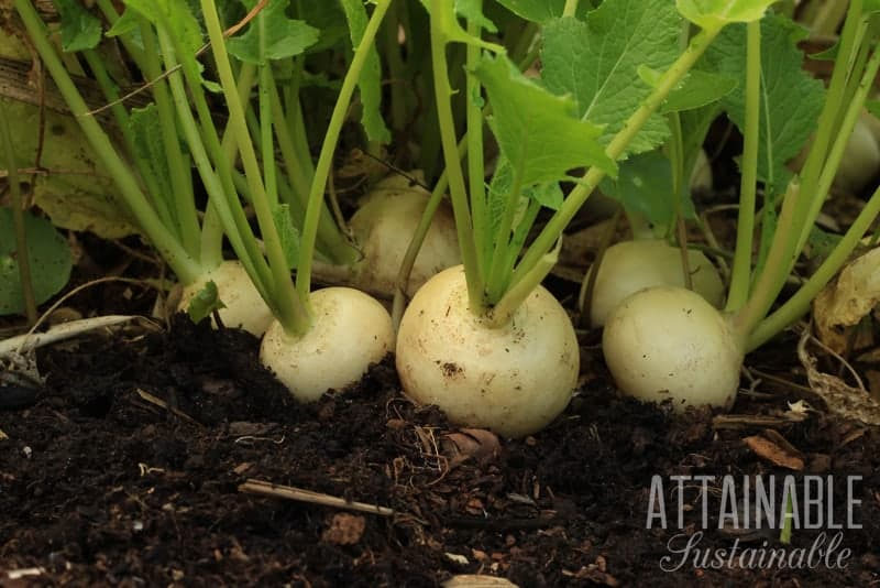 white turnips growing in garden soil