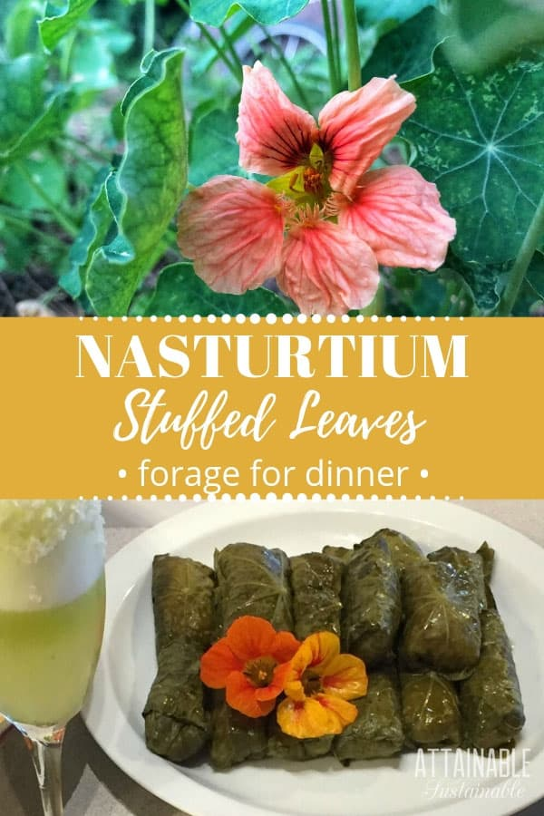 stuffed nasturtium leaves + nasturtium flower growing