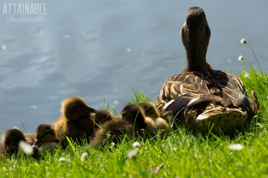 duck with her ducklings, from behind (looking at a pond)
