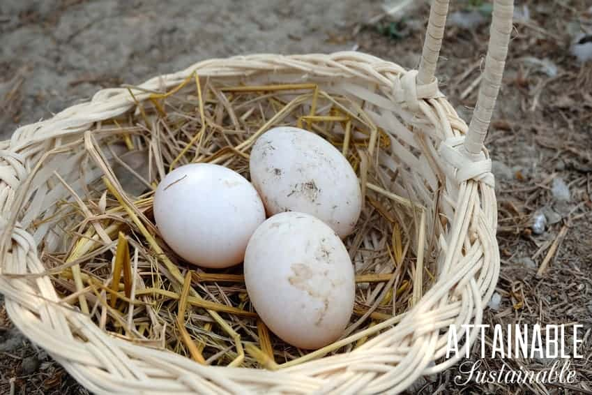 duck eggs in a basket with straw