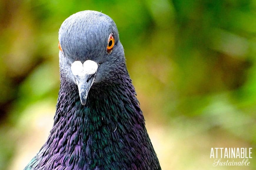 grey pigeon with yellow eyes, looking at the camera