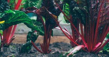 bright red stems on swiss chard