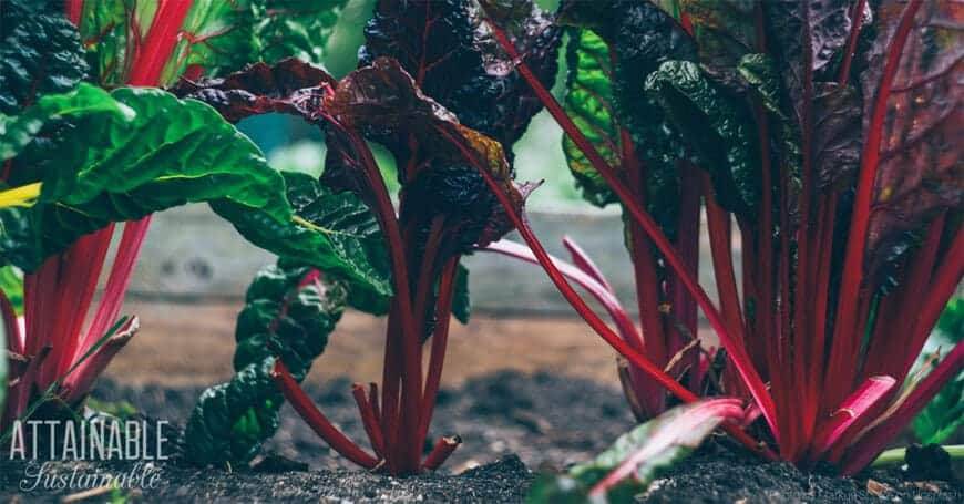 red-stemmed swiss chard growing in a garden
