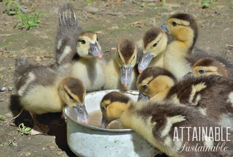 fluffy yellow ducklings eating out of white bowl
