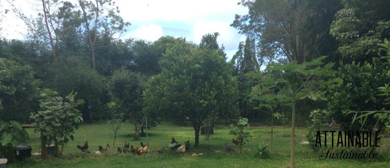 lush green orchard with chickens under trees