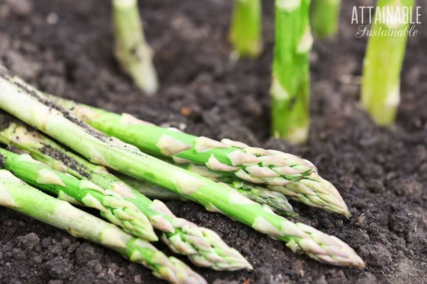 fresh asparagus on soil