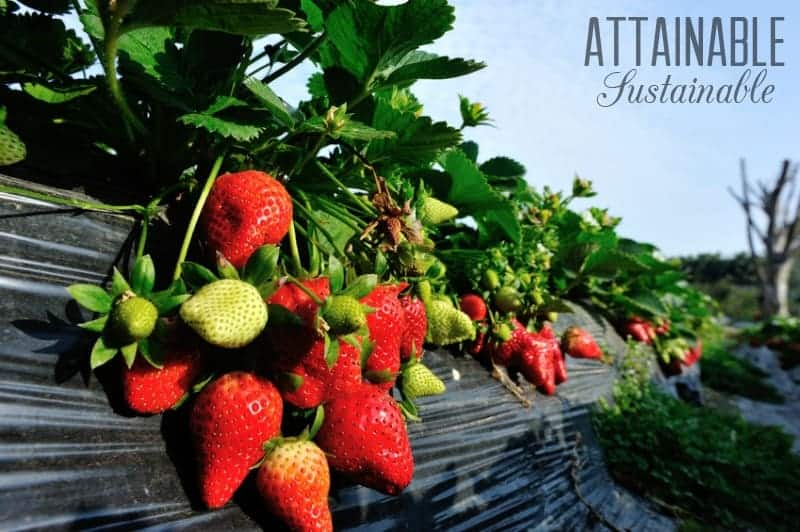 Perennial fruits and vegetables: Plant once, enjoy them for years!