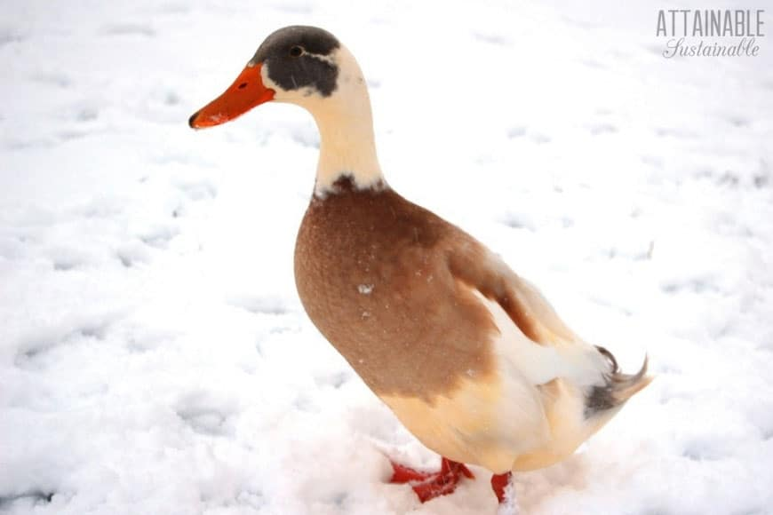 brown and white duck on winter snow