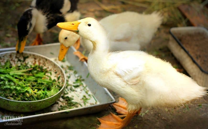 young ducks eating greens out of a bowl