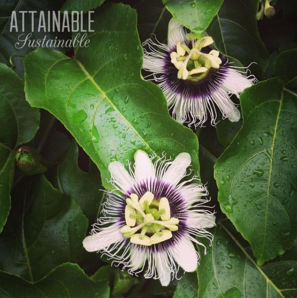 two passion fruit flowers against green leaves