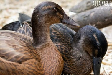 brown ducks, close up