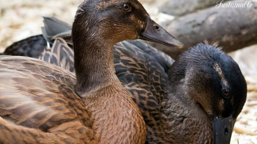 brown ducks, close up