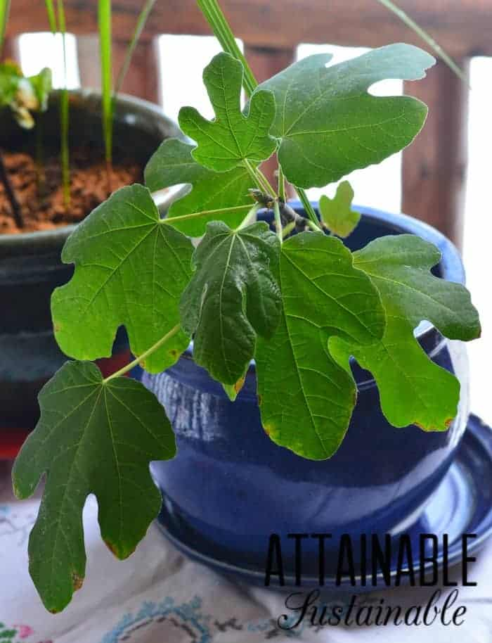 Growing fig tree in a container