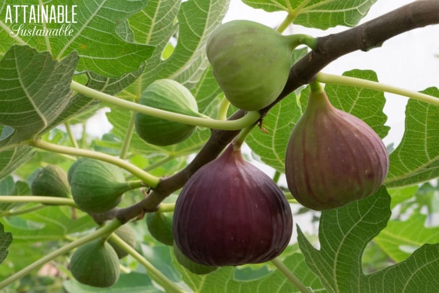green and purple figs on a fig tree branch