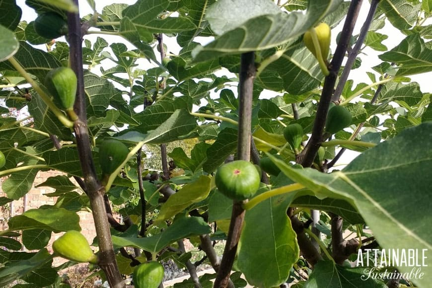 green figs growing on a tree