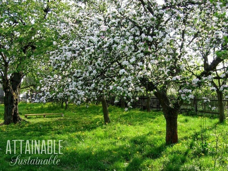 An Edible Landscape Is Great For City Gardeners Consider Growing Fruit Trees