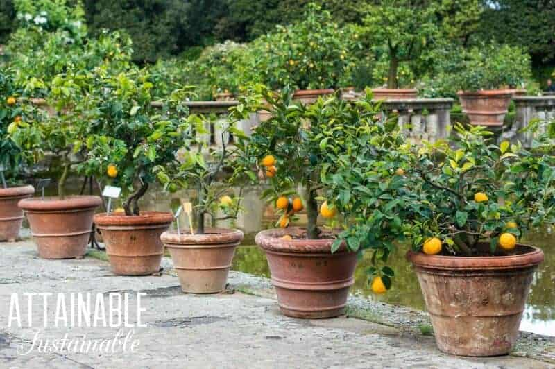 Consider growing fruit trees in pots or as part of your front yard landscape.