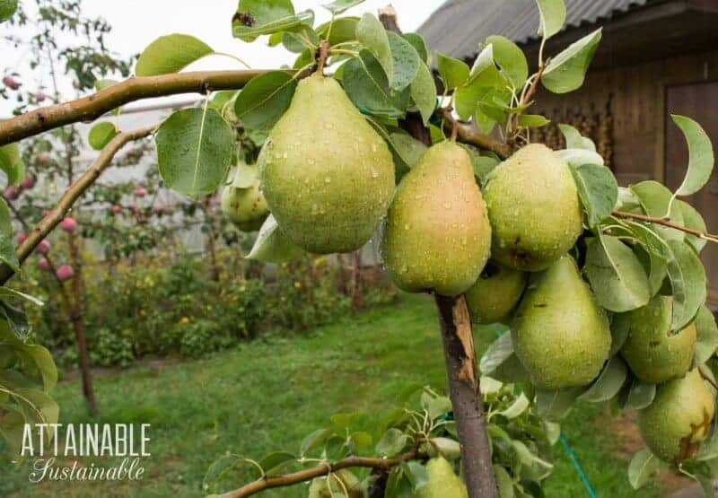 pear tree branch with large pears on the branch - planting food in an orchard