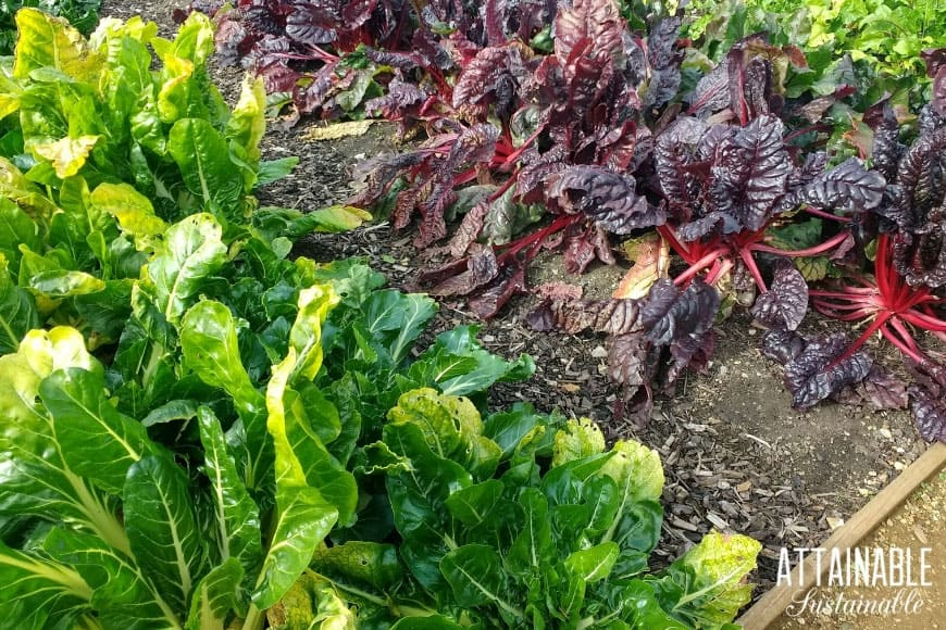 green swiss chard and red swiss chard in a shade garden