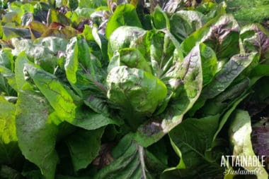 green lettuce with purple highlights, growing in a shade garden