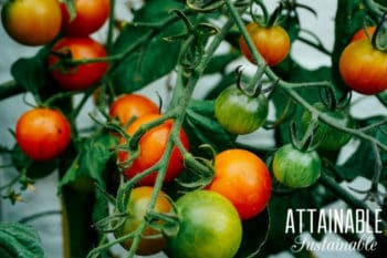 red and green tomatoes on a tomato vine in a container