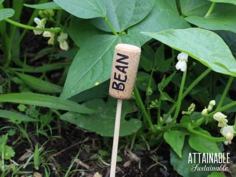 green bean plant with wine cork marker