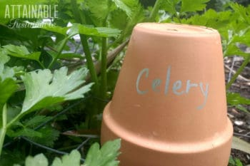 "DIY garden marker made of a clay pot with the word ""celery"""
