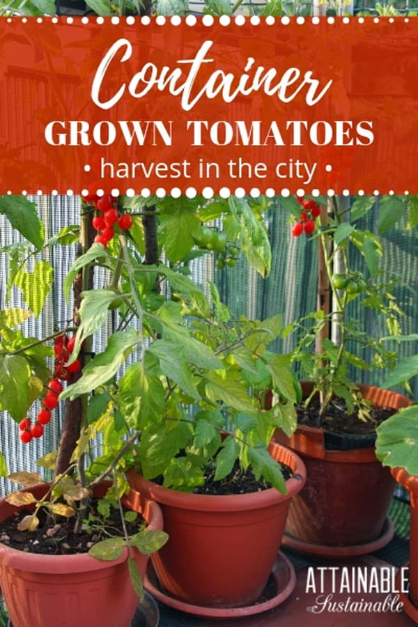 Growing tomatoes in pots is a great way to generate a crop in a small garden space. Here, the best way to plant tomatoes, the best soil for tomatoes, and how to maintain plants for success. Your summertime vegetable harvest will be huge!  #garden #homestead #veggiegarden