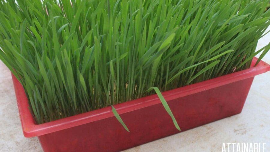 green fodder from oats growing in planter
