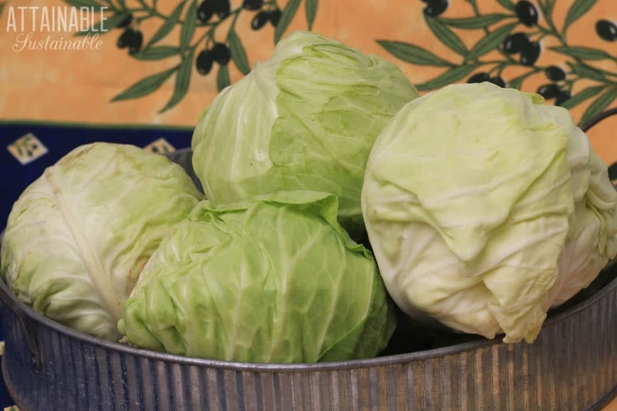 heads of green cabbage in a galvanized tray on a yellow background