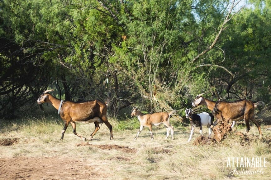 goats ranging on dry grass