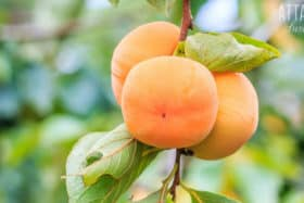 Growing Persimmons: The Best Varieties for a Picky Palate