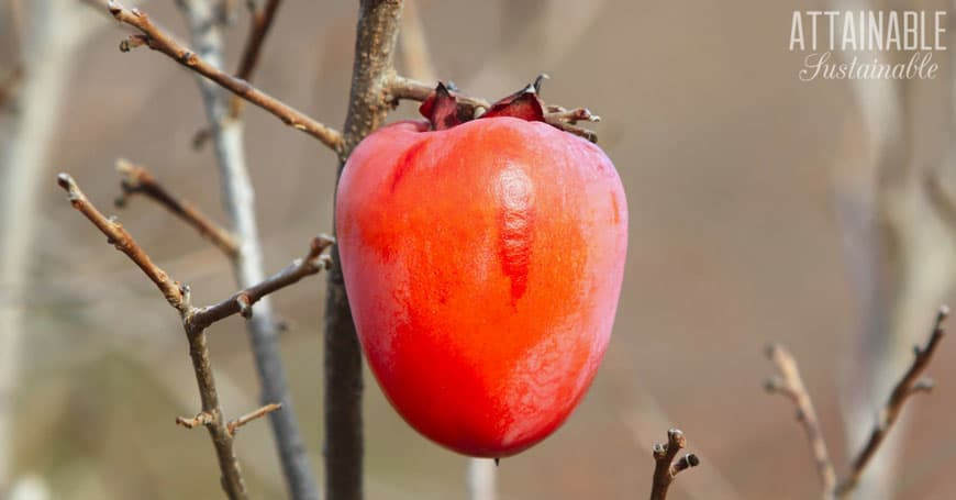 orange-red persimmon on tree