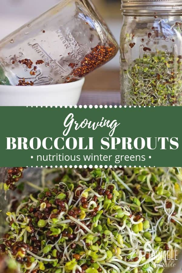 broccoli sprouts in an inverted jar