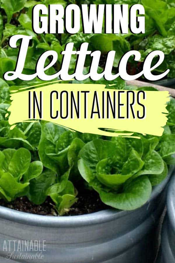 lettuce in galvanized container