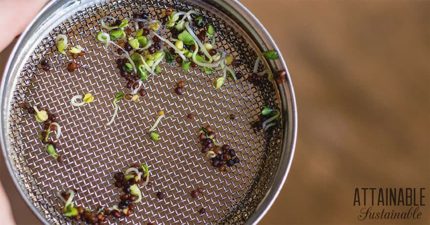 how to grow broccoli sprouts: sprouts on a metal sprouting lid