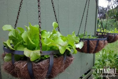 lettuce growing in containers hanging against a green wall