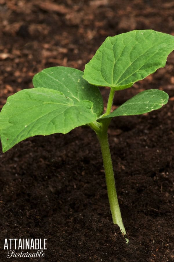 growing cucumber seedling in soil